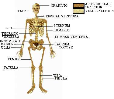 pinkmonkey biology study guide - chapter 20 : human skeleton, Skeleton
