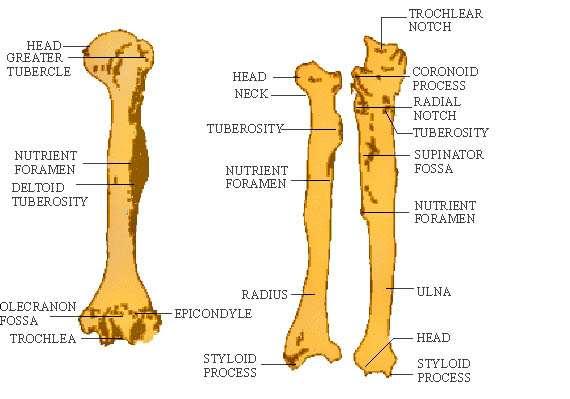 com biology study guide appendicular skeleton click here to enlarge